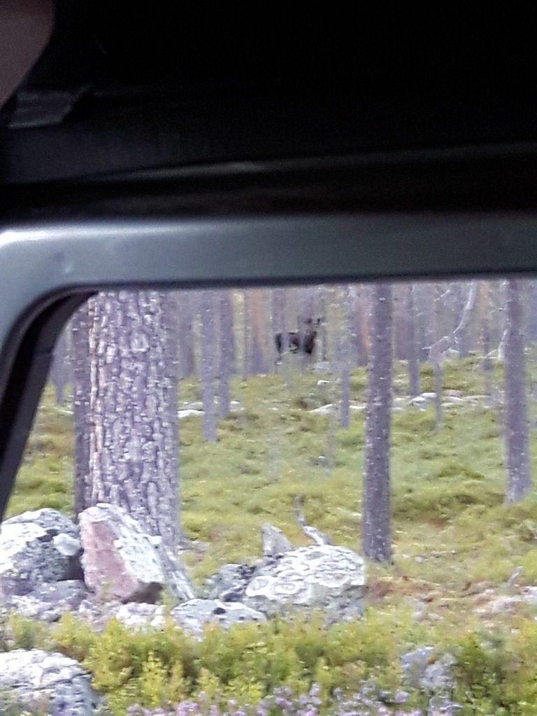 Ein Elch in freier Wildbahn.
